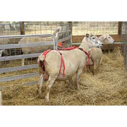 Prolapse Harness for Ewes Item # 18669
